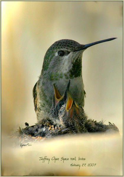 Netgarden >  > California Birds, Hummers and Raptors 2007 photo