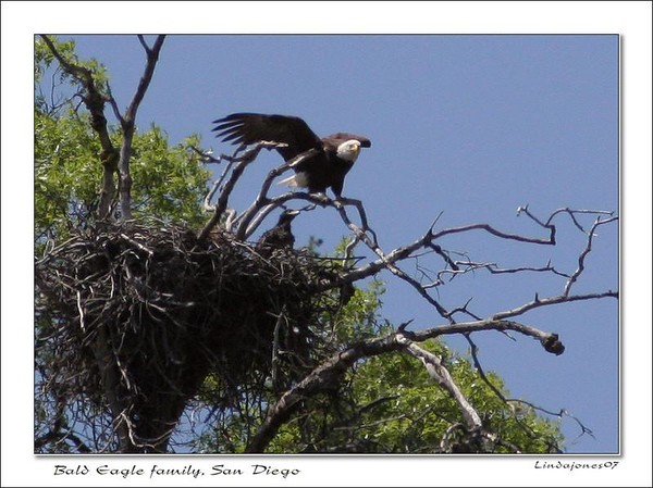 Netgarden >  > California Bald Eagles photo