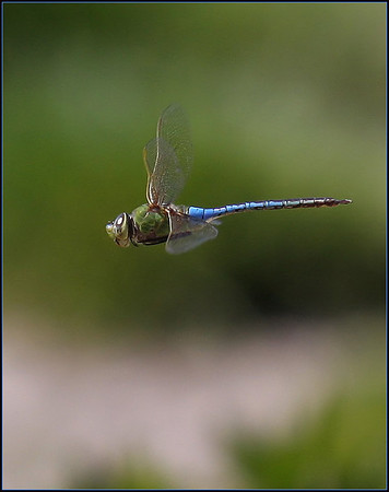 Netgarden > Dragonflies and Butterflies photo