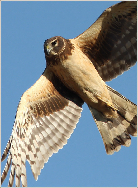 Netgarden > Audubon photos, raptor portraits photo