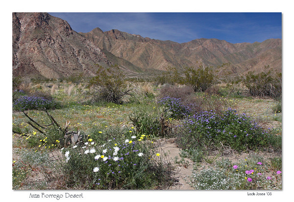 Netgarden > Anza Borrego Wildflowers, Eagles Mar '08 photo