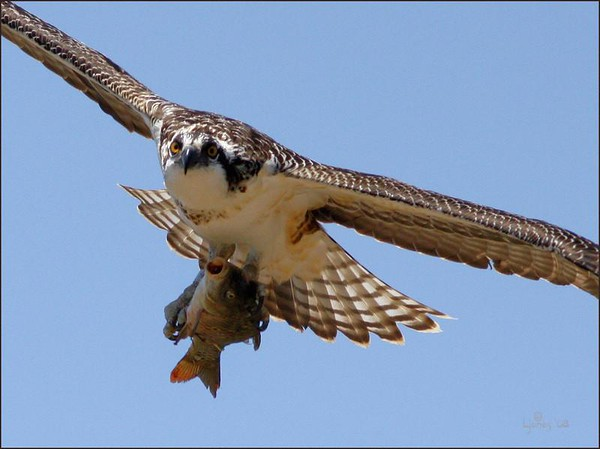 Netgarden > Harriers, Osprey prey, and White Tail Kites  '08 photo
