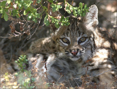 Netgarden > Back Bay wildlife, baby Bobcat