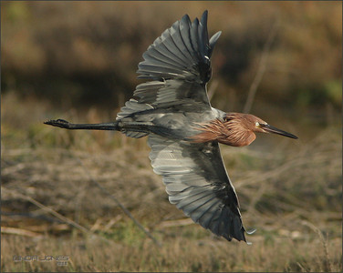Netgarden > California Bald Eagles, Reddish Egrets photo