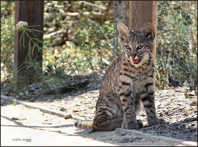 Netgarden > Mark III OCWildlife, Bobcats photo