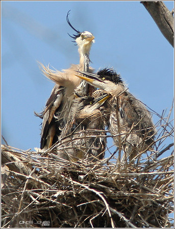 Netgarden > Herons nests, babies, Peregrines photo